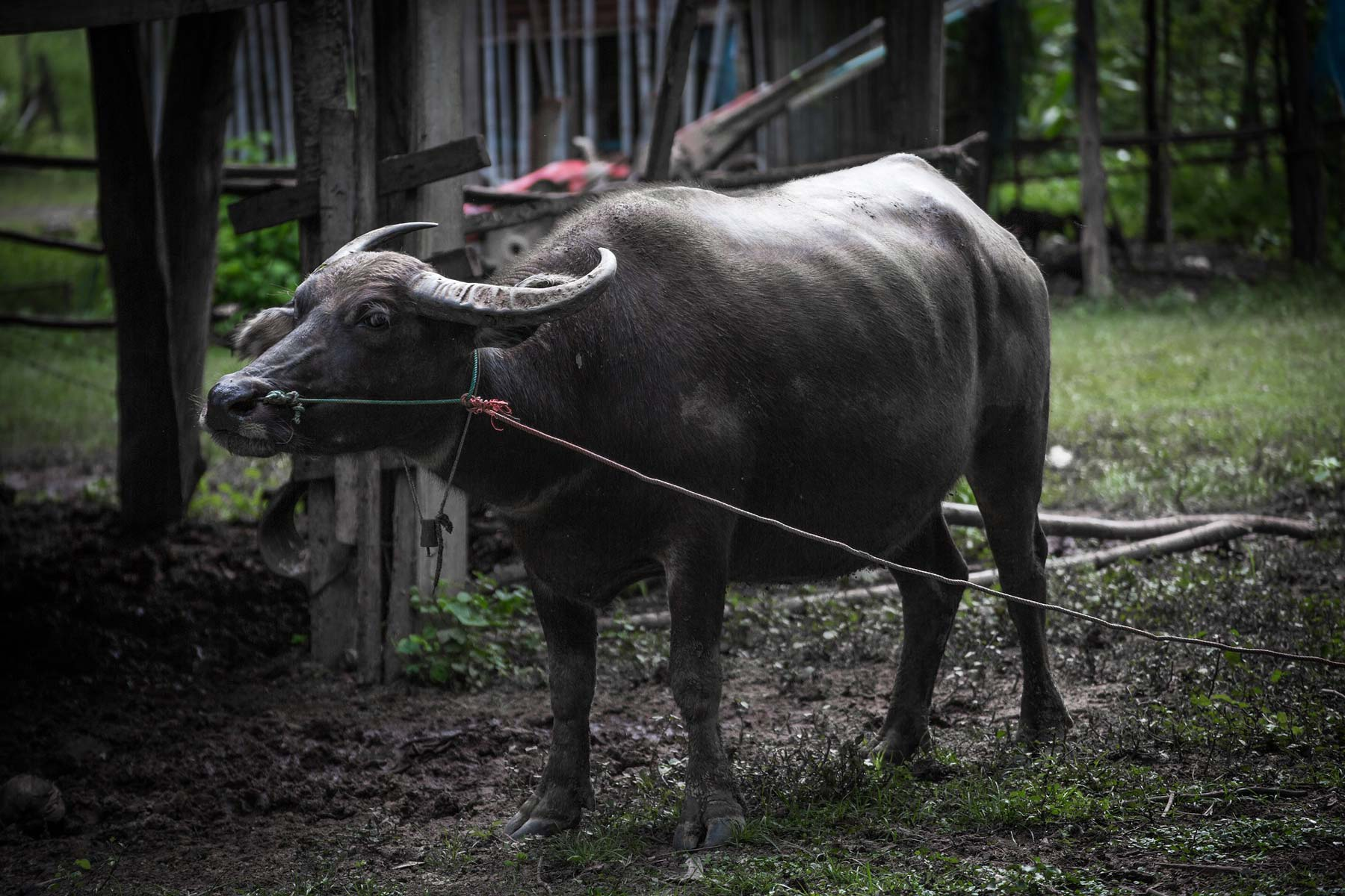 buffalo india
