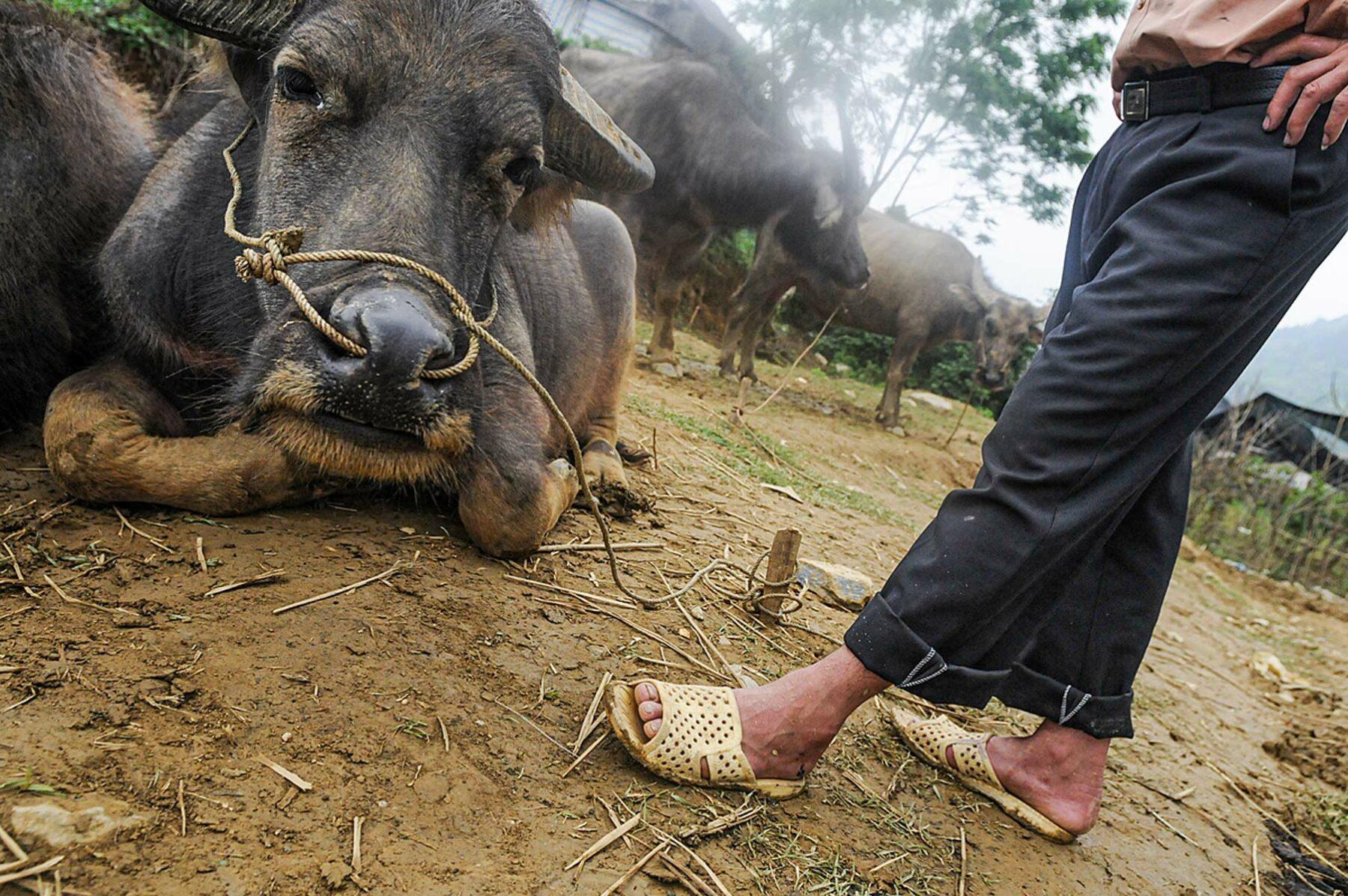 buffalo meat india