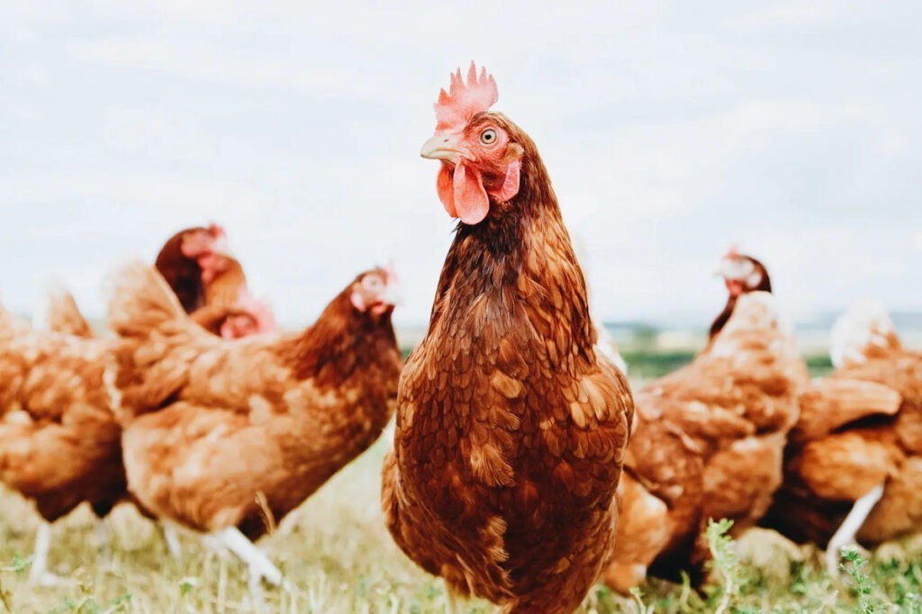 Photo shows chickens socializing together outdoors in a grass field.
