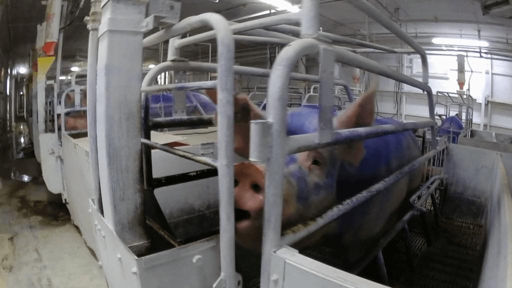 pig in crate at nippon ham farm
