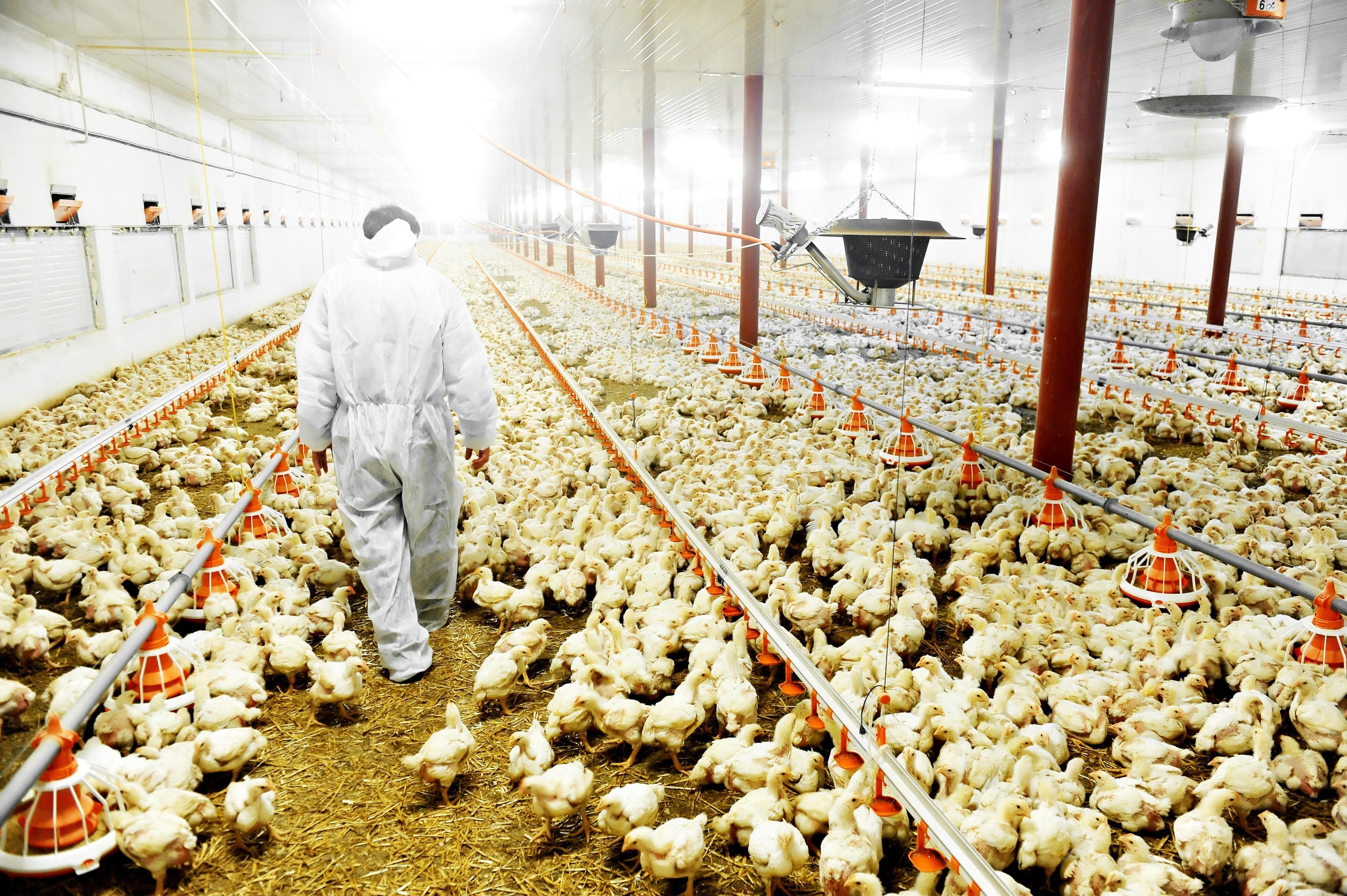 VegNews.ChickenFactoryFarm