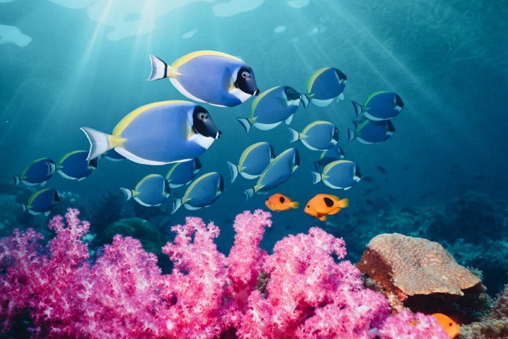 Photo shows powderblue surgeonfish (Acanthurus leucosternon) swimming across a coral reef in Thailand.
