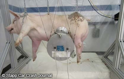 photo of pig used for experiment