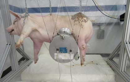 ford crash experiments on pigs